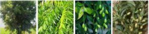 Neem Leaf pic